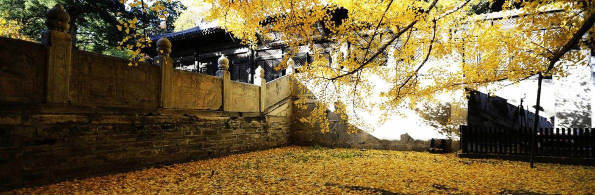 古刹配银杏 北京最美秋季风景图
