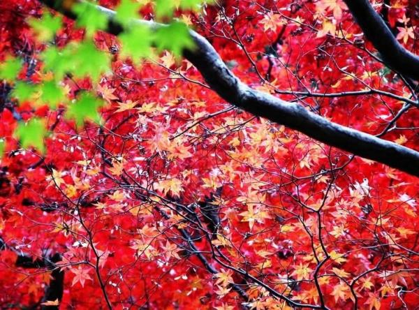 香山红叶唯美图片-北京香山红叶图片_山水风景图片__.