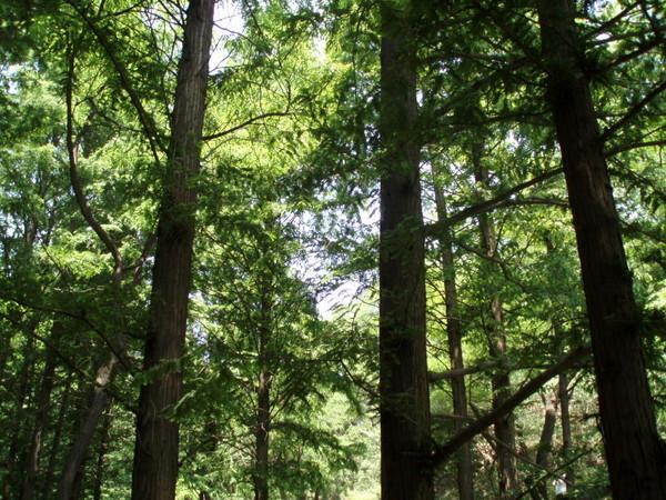 壁纸 风景 森林 树 桌面 600_450