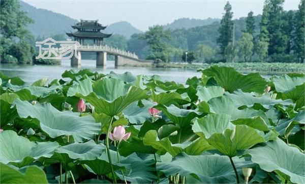 杭州西湖十景之曲院风荷