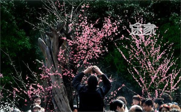 2014超山梅花节时间 地点 超山风景区周边住宿推荐