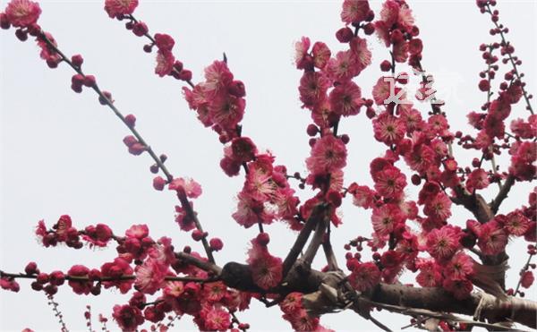 2014南京梅花节什么时候开始南京梅花节门票多少钱