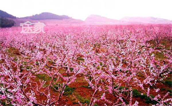 平谷桃花节-2014北京哪里可以看桃花 2014北京赏桃花地推荐