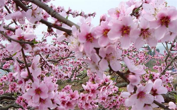 梦见樱桃花盛开