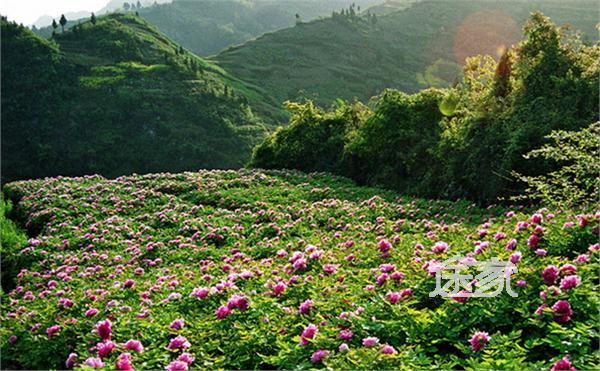 垫江牡丹节_重庆垫江牡丹节简介 中国山水牡丹的起源就是重庆垫江,这里自然景观