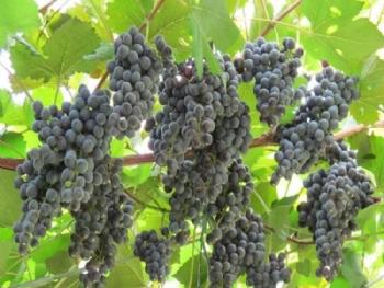 定州黄家营葡萄酒庄的葡萄